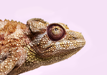 Panther chameleon, Furcifer pardalis, in close up against white background Stock Photo