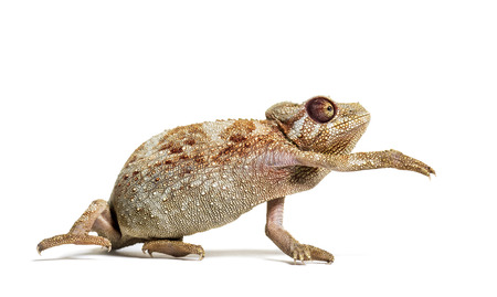 Panther chameleon, Furcifer pardalis against white background 版權商用圖片