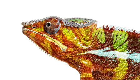 head of Panther chameleon, Furcifer pardalis looking at camera against white background Stock Photo