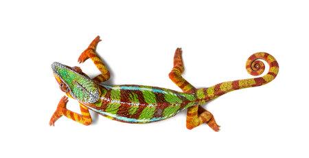 Panther chameleon, Furcifer pardalis against white background Banco de Imagens