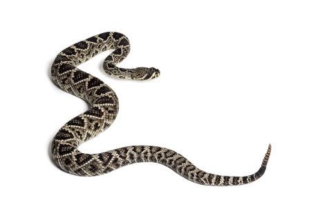 Crotalus atrox, serpiente de cascabel de Diamondback occidental o Texas Diamond-back, serpiente venenosa contra el fondo blanco. Foto de archivo