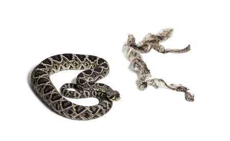 Crotalus atrox, western diamondback rattlesnake or Texas diamond-back, venomous snake with shed skin against white background Foto de archivo