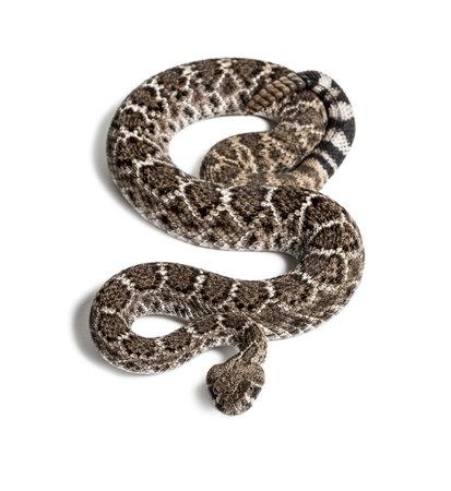 Crotalus atrox, western diamondback rattlesnake or Texas diamond-back, venomous snake looking at camera against white background