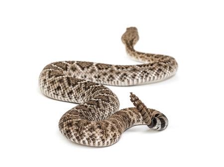 Crotalus atrox, serpente a sonagli diamondback occidentale o serpente texano diamondback, serpente velenoso su sfondo bianco