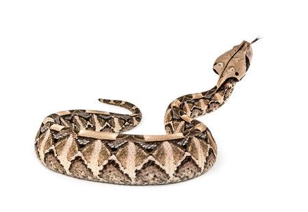 Bitis gabonica, víbora de Gaboon, Bitis gabonica, es una especie de víbora venenosa contra el fondo blanco.