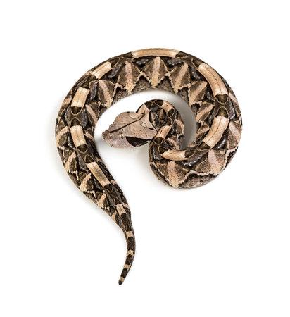 Bitis gabonica, Gaboon viper , Bitis gabonica, is a viper species, venomous against white background