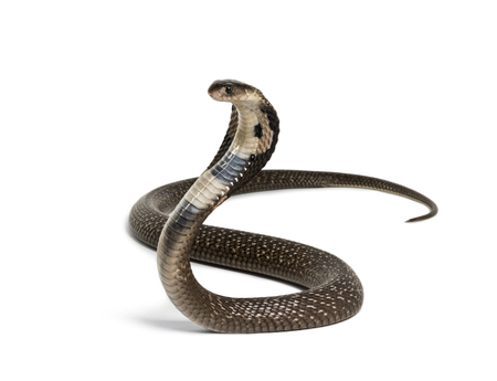 King cobra, Ophiophagus hannah, venomous snake against white background against white background