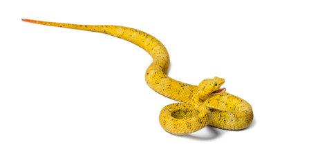 Bothriechis schlegelii, Bothriechis schlegelii, the eyelash viper, is a venomous pit viper against white background