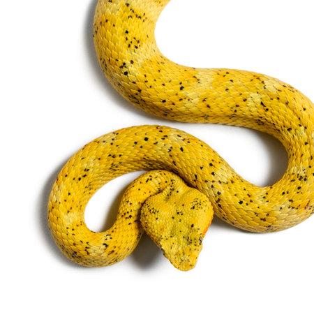 Bothriechis schlegelii, Bothriechis schlegelii, la víbora de pestañas, es una víbora venenosa contra el fondo blanco.