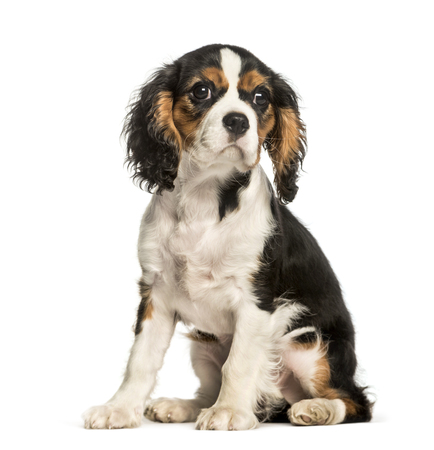 Young Cavalier King Charles dog sitting against white background 版權商用圖片
