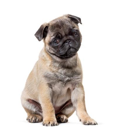 Pug Puppy sitting against white background