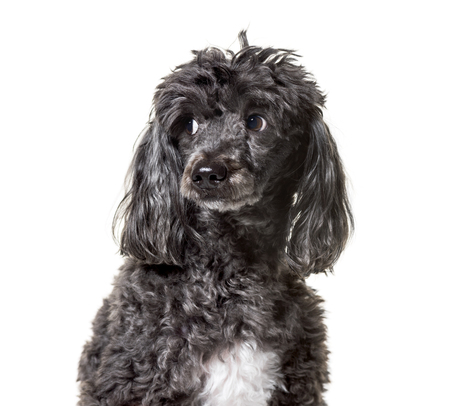 Poodle , 5 years old, against white background Foto de archivo