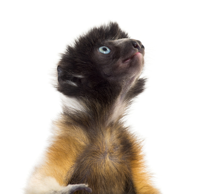 Soa, 4 months old, Crowned Sifaka against white background Stock Photo