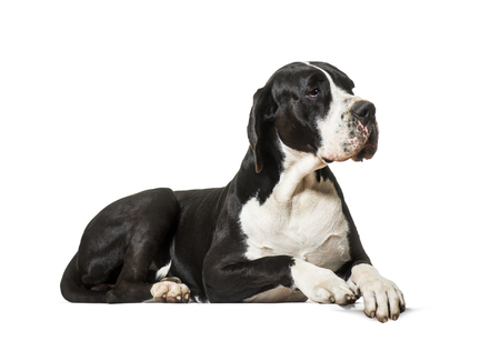 Great Dane, lying on front against white background