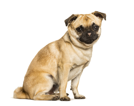 Chug dog is a Mixed-breed between a pug and a Chihuahua sitting against white background 免版税图像