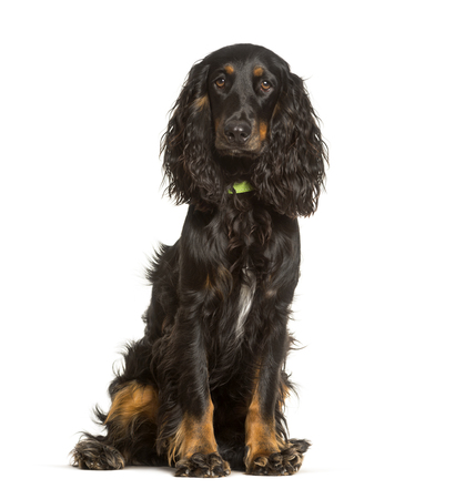 English Cocker Spaniel dog sitting against white background