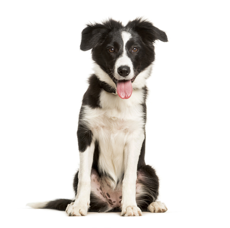 Panting 5 months old puppy border collie dog sitting against white background Reklamní fotografie