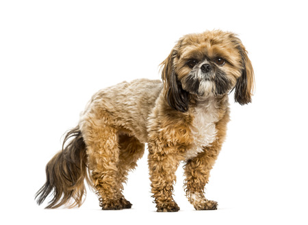 Shih Tzu standing against white background