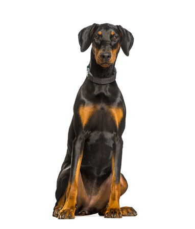 Doberman dog sitting against white background Reklamní fotografie