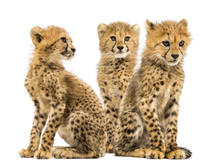 Group of a family of three months old cheetah cubs sitting together Reklamní fotografie