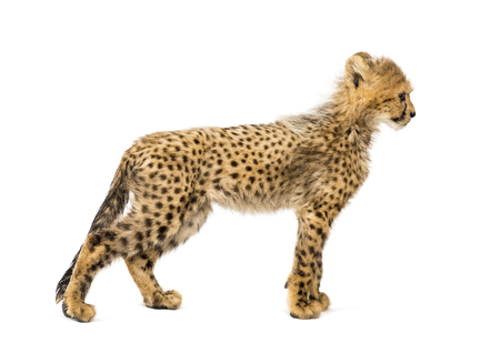 Side view of three months old cheetah cub standing, isolated on white