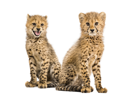 Couple of three months old cheetah cubs, isolated on white Reklamní fotografie
