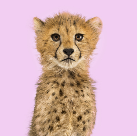 Close-up on a three months old cheetah cubs against a colored background Reklamní fotografie