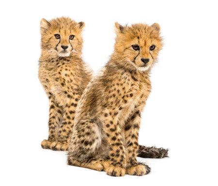 Coppia di cuccioli di ghepardo di tre mesi, isolati su bianco Archivio Fotografico