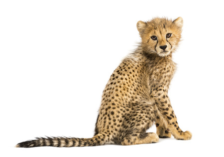 Back view of a three months old cheetah cub sitting, isolated on white Reklamní fotografie