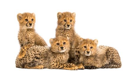 Grupo de una familia de cachorros de guepardo de tres meses sentados juntos Foto de archivo