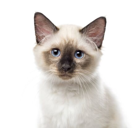 Close-up of a Birman kitten, 3 months old, isolated on white