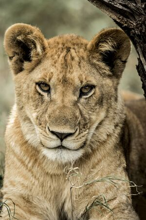 Close-up of a female lion in Serengeti National Park Stock Photo
