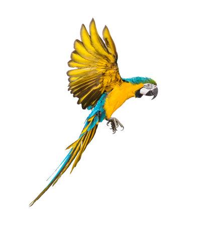 Seitenansicht eines blau-gelben Aras, Ara ararauna, fliegend, isoliert