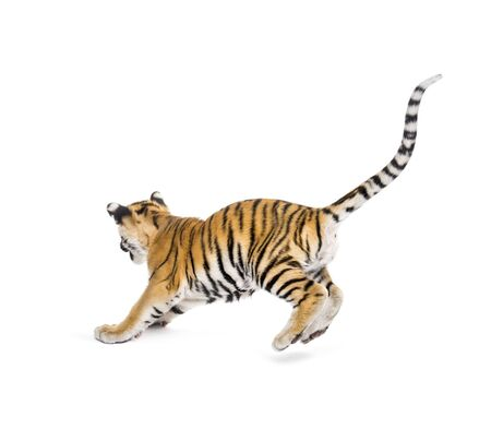 Two months old tiger cub pouncing against white background