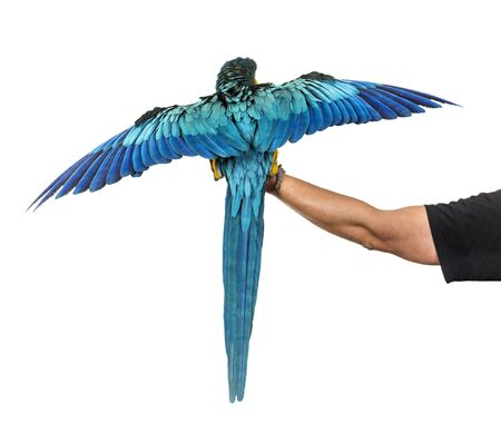 rear view of a blue-and-yellow macaw, Ara ararauna, flying, isolated Stock Photo