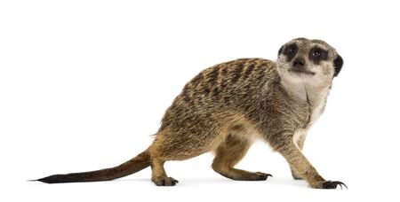 Suricate standing and looking up, isolated on white