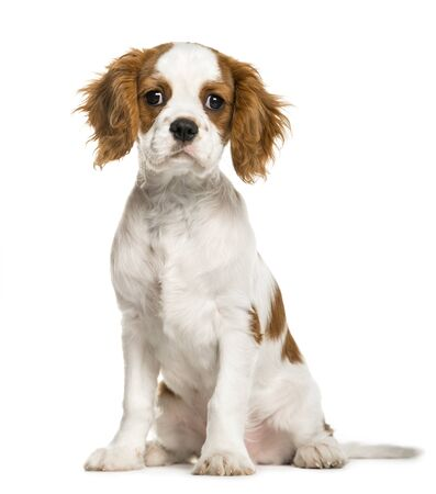 Cavalier King Charles Spaniel puppy, 3 months old, isolated on white
