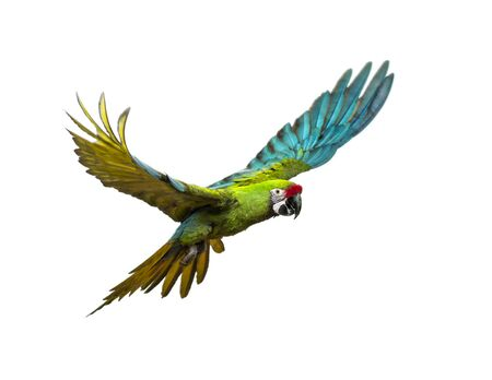 Military macaw, Ara militaris, flying, isolated on white Imagens