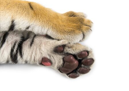 Close up of, Two months old tiger cub lying against white background