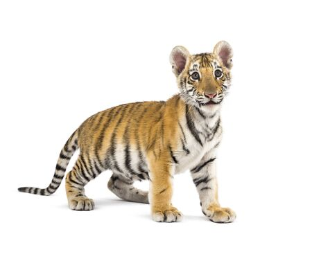Two months old tiger cub standing against white background