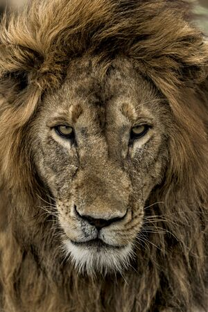 Close-up of a male lion in Serengeti National Park Stock Photo
