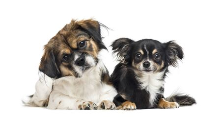Crossbreed and chihuahua side by side, isolated on white