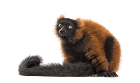 red ruffed lemur sitting, isolated on white