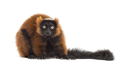 red ruffed lemur looking at the camera, isolated on white Standard-Bild