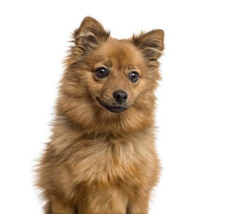 Close-up of a german Spitz puppy, 6 months old, isolated on white Stockfoto