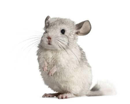 Chinchilla on hind legs, isolated on white