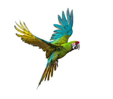 Military macaw, Ara militaris, flying, isolated on white Standard-Bild