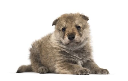 Young Mongolian wolf, or grey wolf, one month old, isolated