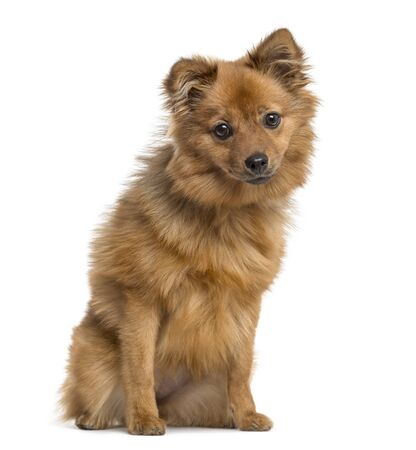 German Spitz puppy sitting, 6 months old, isolated on white Stockfoto