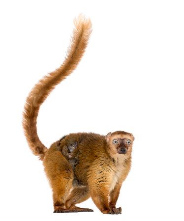 female blue-eyed black lemurs whit her baby, isolated on white Standard-Bild